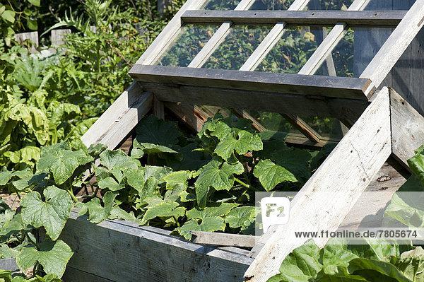 Frühbeet im Garten  offen  mit Gurkenpflanze