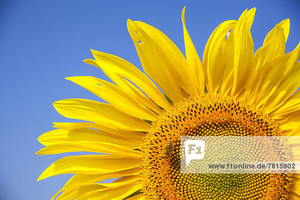 Inflorescence of a Sunflower (Helianthus annuus) with a Honey Bee (Apis mellifera)