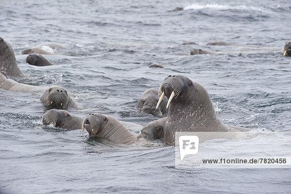 Weibliche Walrosse (Odobenus rosmarus) mit Jungen