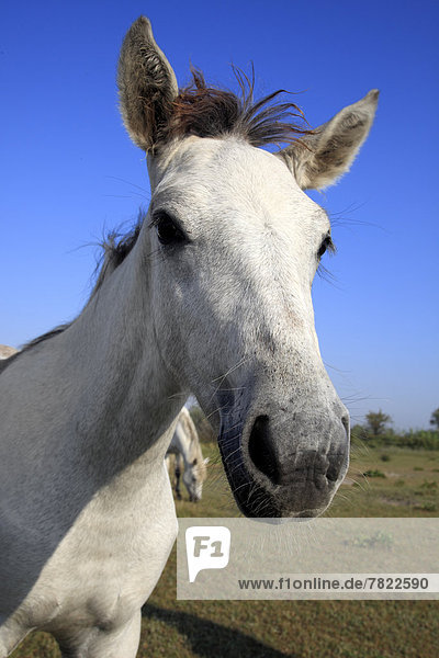 Camargue horse (Equus ferus caballus) foal  portrait