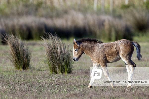 Europe  Cheval Camargue  Wild Horse  Camargue  France  foal  Equus caballus  animal