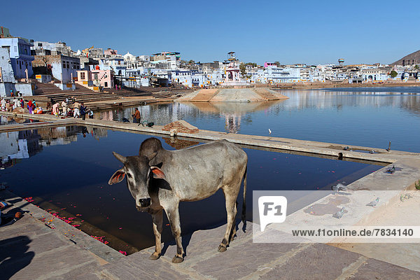 Hausrind  Hausrinder  Kuh  baden  See  Heiligkeit  Hippie  Tempel  ghat  Asien  Kuh  Indien  Pushkar  Rajasthan