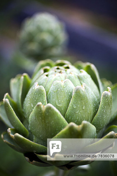A raw artichoke with drops of water on it  close-up