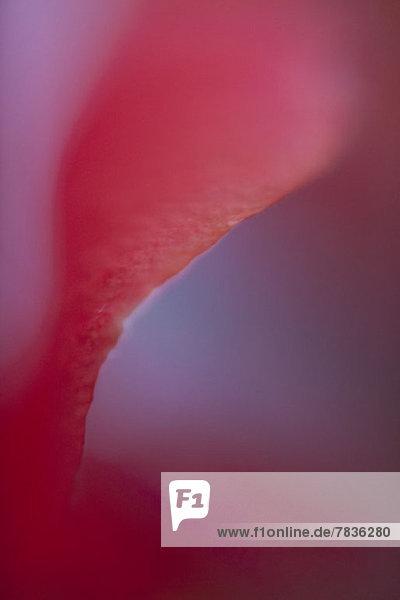 Abstraktes verträumtes Makro eines roten Blütenblattes