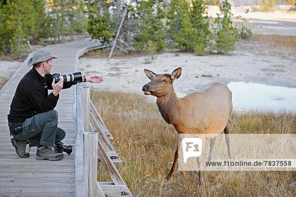 Naturfotograf mit Hirschkuh des Wapiti (Cervus canadensis)