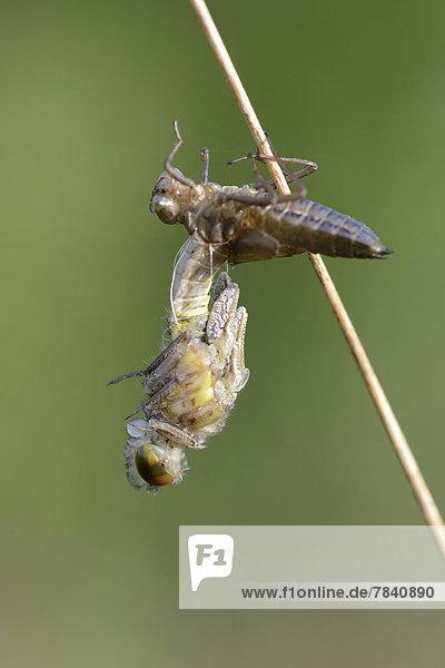 Kleine Moosjungfer (Leucorrhinia dubia)  Schlupf