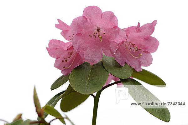 Rhododendron (Rhododendron orbiculare)