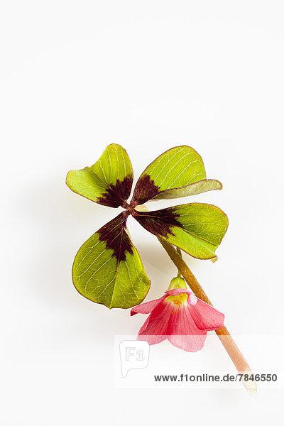 Vier Kleeblätter und rote Blüten auf weißem Grund  Nahaufnahme
