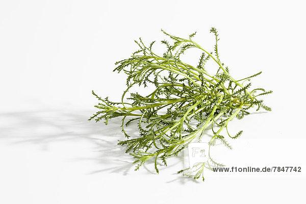Olivenkraut auf weißem Hintergrund  Nahaufnahme