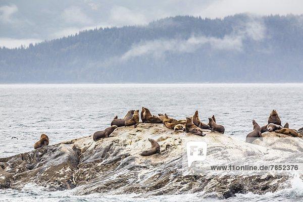 Vereinigte Staaten von Amerika USA Meer Nordamerika Norden Stellersche Seelöwe Eumetopias jubatus Glacier-Bay-Nationalpark