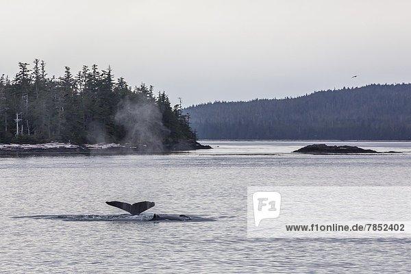 Vereinigte Staaten von Amerika  USA  hoch  oben  Nordamerika  Erwachsener  Tauchgang  Wal