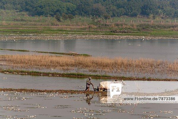Feld  Bauer  Ochse  Myanmar  pflügen
