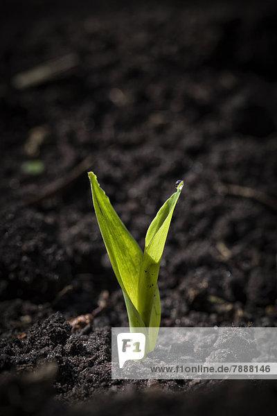 Keimling einer Maispflanze in der Erde