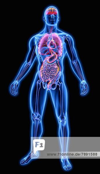 Beleuchtete Organe in blauem anatomischen Modell