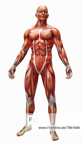Anatomiemodell mit Muskeln und Sehnen