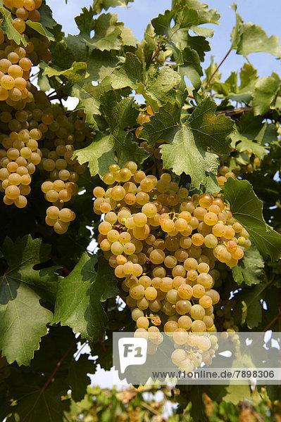 Weiße Trauben an den Reben in den Weinbergen von Hajós  Ungarn  Europa
