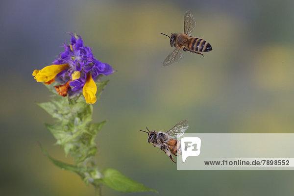 Westliche Honigbienen (Apis mellifera) im Flug