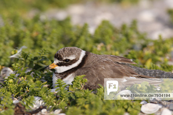 Ringed Plover (Charadrius hiaticula) brooding on a nest