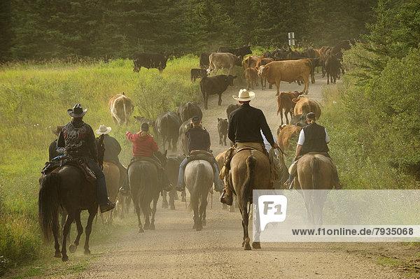 Rinderherde wird von Cowgirls und Cowboys getrieben
