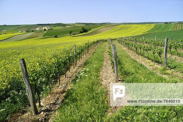 Weingärten  Felder und blühende Rapsfelder (Brassica napus)