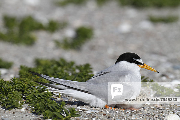 Little Tern (Sterna albifrons)  adult bird attending to chick