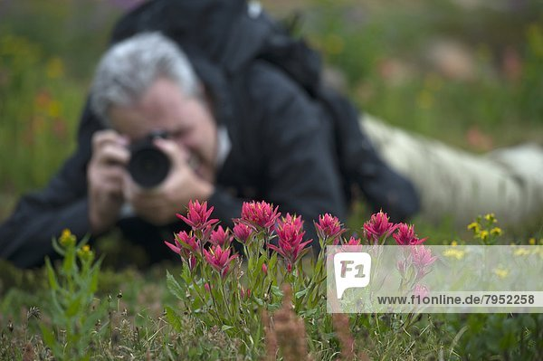A photographer focuses on Indian Paintbrush in the tundra.