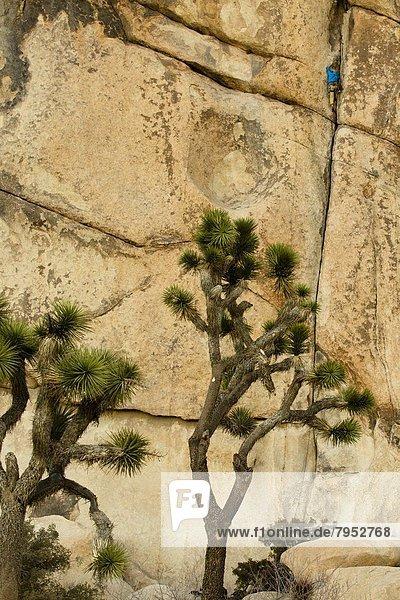 überqueren  Baum  Jacke  5  blau  Klettern  Kleidung  Joshua Tree  Yucca brevifolia  7  sieben  Kalifornien  Kreuz