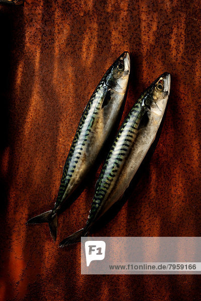 Fisch  Pisces  2  Makrele