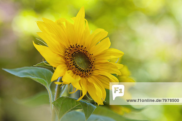 Germany  Baden Wuerttemberg  Annual sunflower  close up