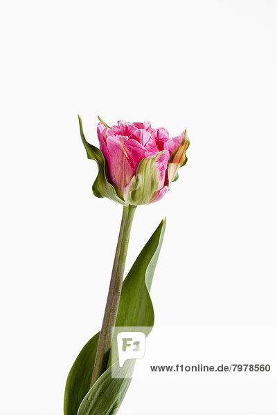 Pink tulip flower against white background  close up