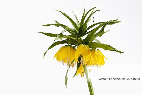 Krone kaiserliche Blume vor weißem Hintergrund  Nahaufnahme