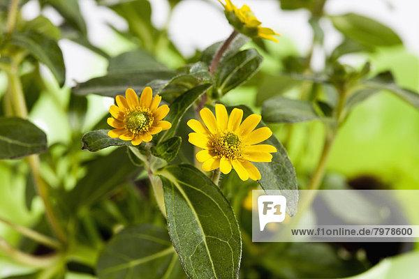 Sanvitalia procumbens Blumen  Nahaufnahme