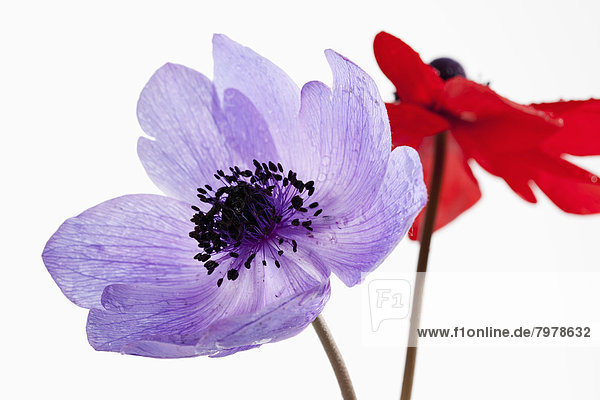 Waterdrops on anemone flower against white background  close up