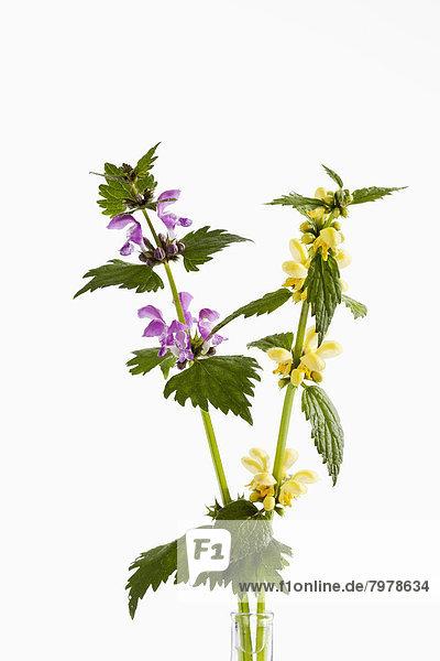 Lamium Purpureum und Lamium Galeobdolon Blüten auf weißem Hintergrund  Nahaufnahme