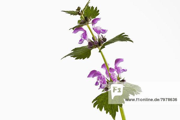 Lamium Purpureum Blüten vor weißem Hintergrund  Nahaufnahme