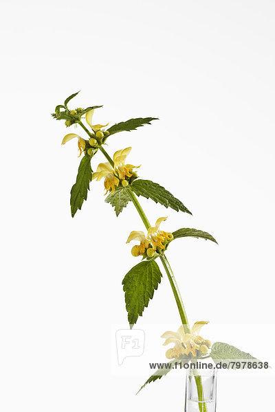 Lamium Galeobdolon Blüten gegen weißen Hintergrund  Nahaufnahme