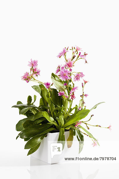 Potted plant of Lewisia flower on white background  close up