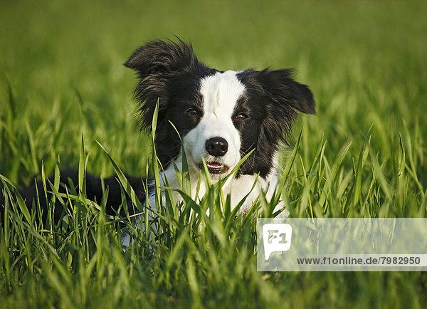 Deutschland  Baden Württemberg  Border Collie Hund auf Gras
