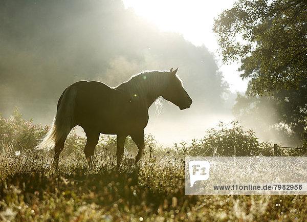 Deutschland  Baden Württemberg  Schwarzwaldpferd auf Rasen