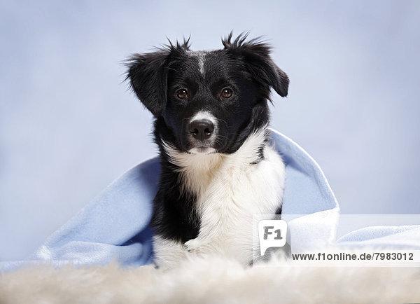 Deutschland  Baden Württemberg  Border Collie Hund auf Teppich liegend  Nahaufnahme