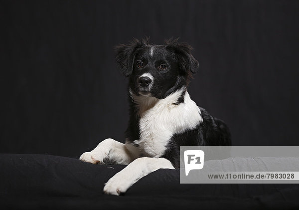Deutschland  Baden Württemberg  Border Collie Hund auf Sofa liegend  Nahaufnahme