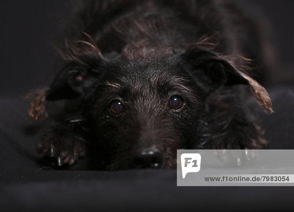 Deutschland  Baden Württemberg  Mischlingshund auf Teppich liegend  Nahaufnahme