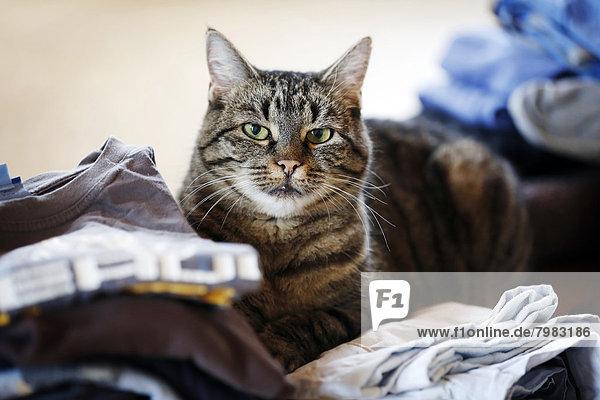 Deutschland  Baden Württemberg  Katze auf Kleidung sitzend