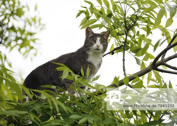 Deutschland  Baden Württemberg  Katze klettert auf Ast  Nahaufnahme