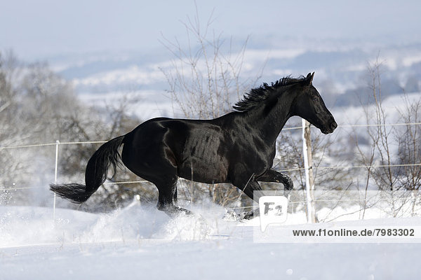 Deutschland  Baden Württemberg  Pferderennen im Schnee