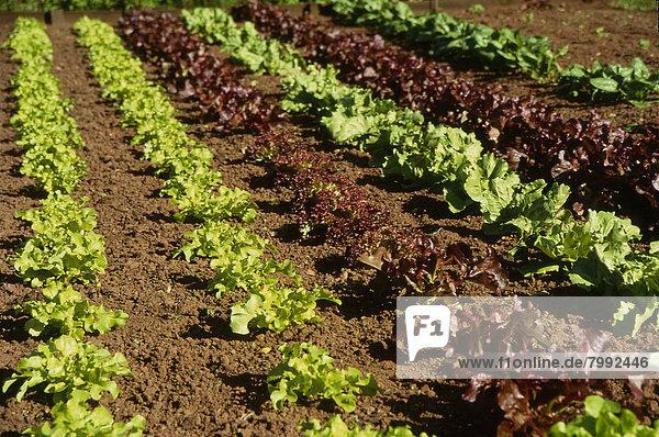 Lettuces growing