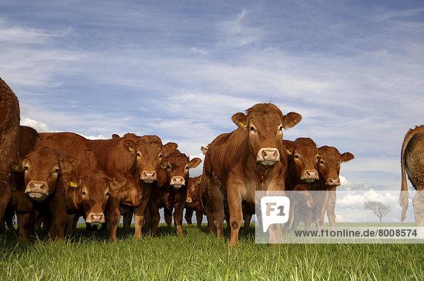 Herde  Herdentier  jung  Limousin