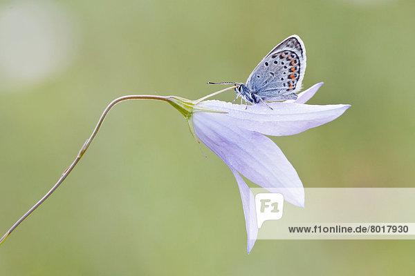 Hauhechel-Bläuling (Polyommatus icarus) sitzt auf Glockenblume (Campanula)