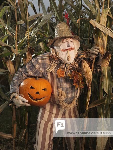 Eine Vogelscheuche schleicht mit einem geklauten und geschnitzten Kürbis unter dem Arm durch ein Maisfeld   Halloween-Thema