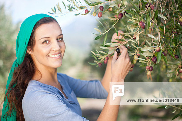 Woman picking olives in olive grove  portrait